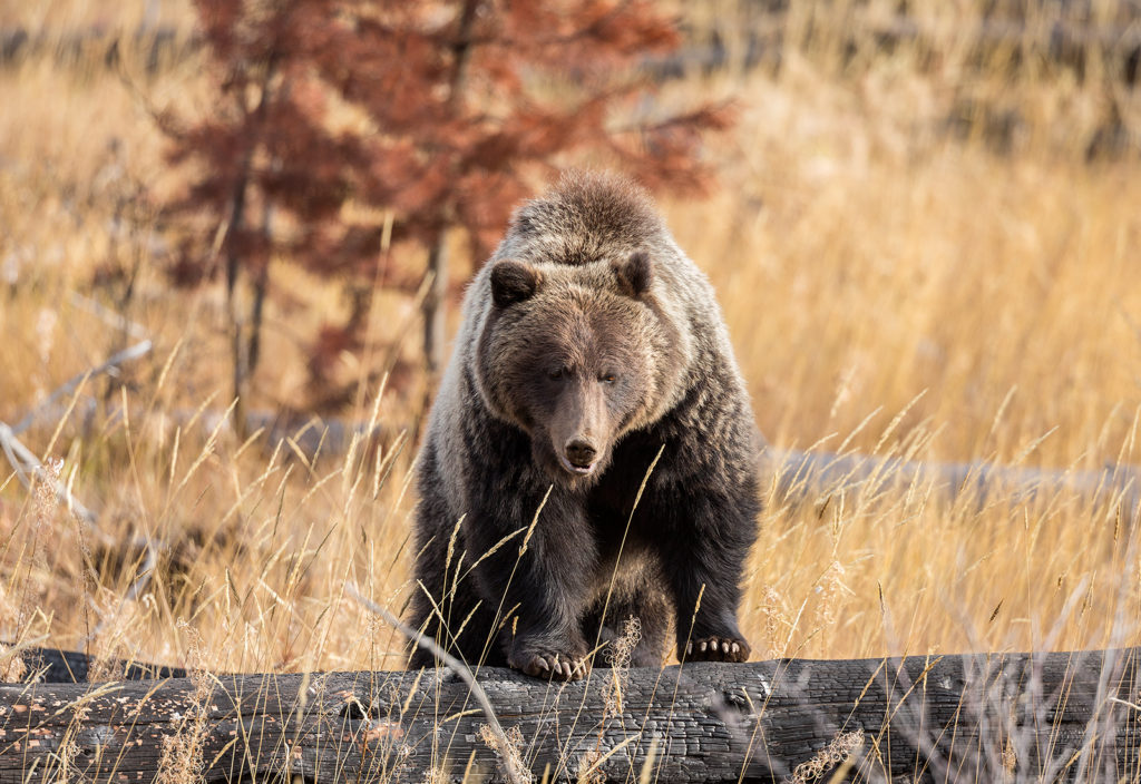 Grizzly Bear in Alberta, Canada